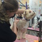 dog grooming with scissors