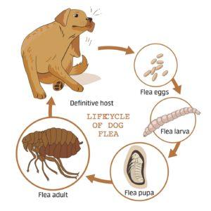 fleas-373070215