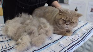 Cat at groomers