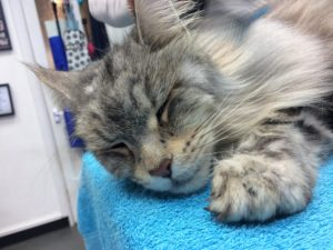 Cat Nap at the Groomers