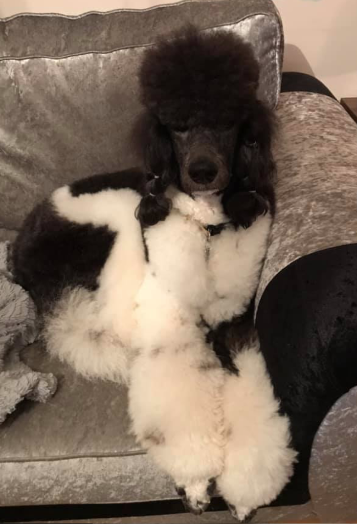 Parti colour poodle stud available